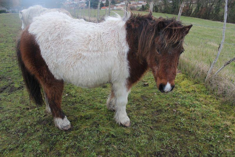 PIPO - Poney OI typé Shetland né en 1990 - adopté en septembre 2009 par Justine et Janine Img_9232