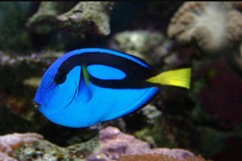"""Fact & Information About Blue Tang / Paracanthurus Hepatus a.k.a """"Dory - The Movie Star"""" 20180560"""