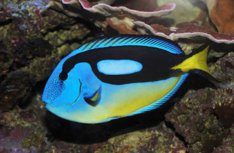 """Fact & Information About Blue Tang / Paracanthurus Hepatus a.k.a """"Dory - The Movie Star"""" 20180562"""
