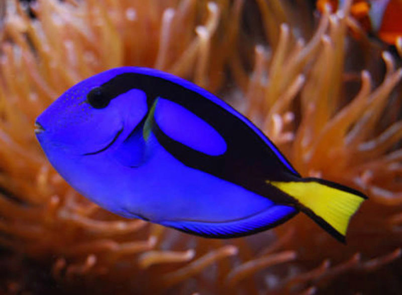 """Fact & Information About Blue Tang / Paracanthurus Hepatus a.k.a """"Dory - The Movie Star"""" 20180563"""