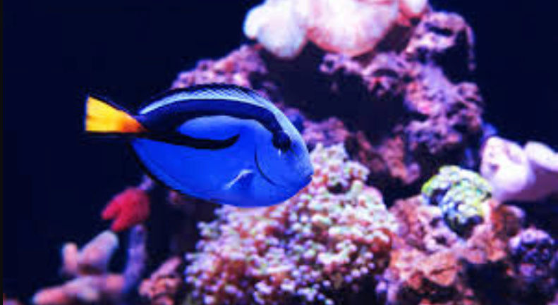 """Fact & Information About Blue Tang / Paracanthurus Hepatus a.k.a """"Dory - The Movie Star"""" 20180565"""