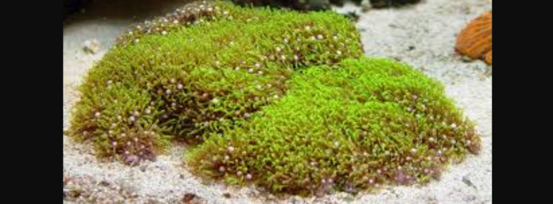"""Star Polyp - The Beautiful & Hardy """"Pest"""" Corals 20180567"""