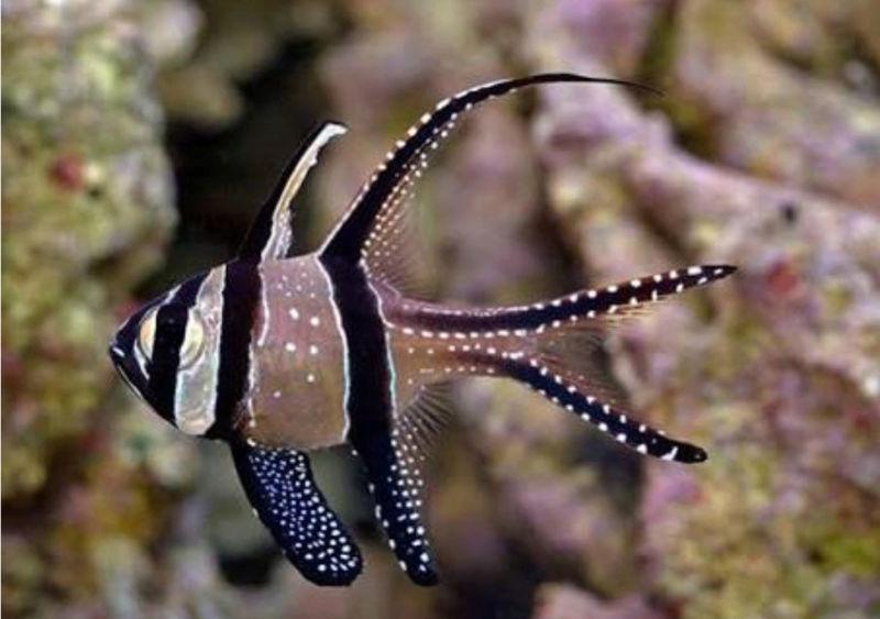 Banggai Cardinalfish - The Native Fish from Indonesia 20180576