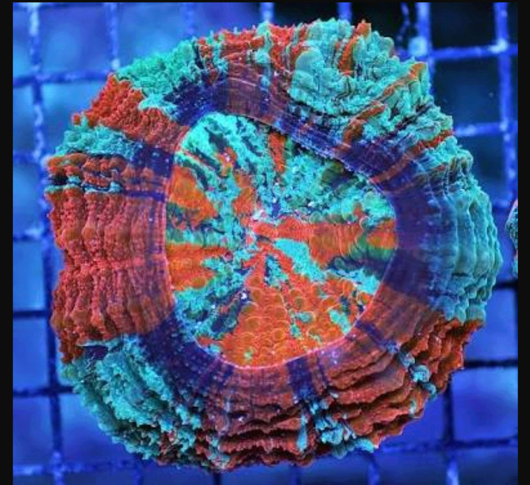 Doughnut Coral - The Premium Eye Catching Coral 20180587