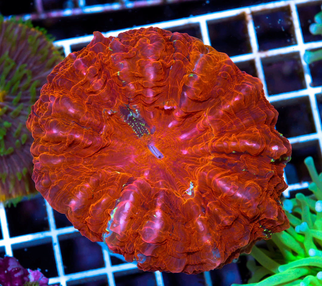 Doughnut Coral - The Premium Eye Catching Coral 20180588