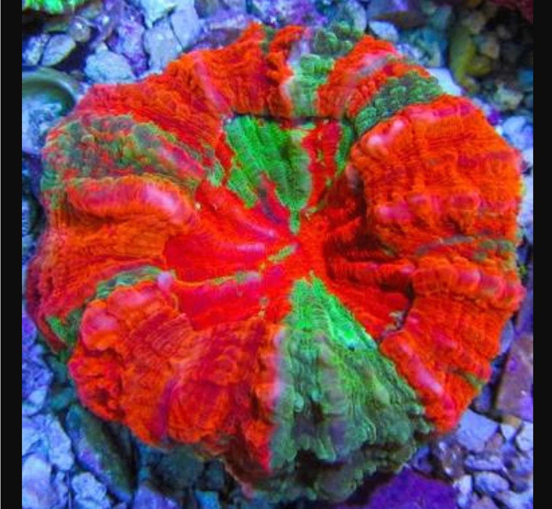 Doughnut Coral - The Premium Eye Catching Coral 20180590