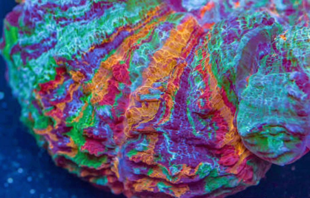 Doughnut Coral - The Premium Eye Catching Coral 20180591
