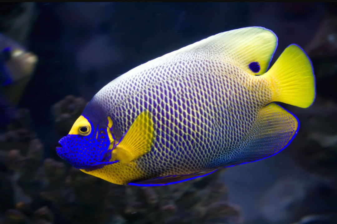 """Fact about Angel Napoleon a.k.a Blue Face Angelfish a.k.a Pomacanthus Xanthometopon, Indonesia's """"Star"""" Angelfishes 20180610"""