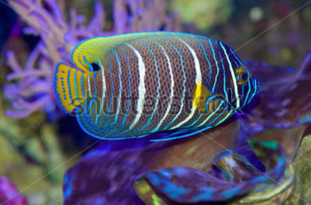 """Fact about Angel Napoleon a.k.a Blue Face Angelfish a.k.a Pomacanthus Xanthometopon, Indonesia's """"Star"""" Angelfishes 20180611"""