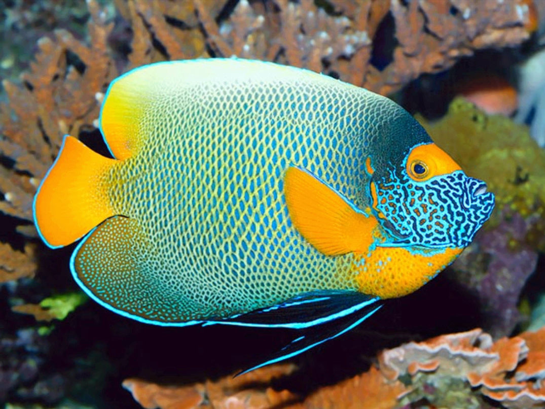"""Fact about Angel Napoleon a.k.a Blue Face Angelfish a.k.a Pomacanthus Xanthometopon, Indonesia's """"Star"""" Angelfishes 20180612"""