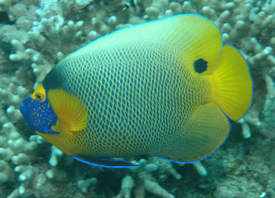 """Fact about Angel Napoleon a.k.a Blue Face Angelfish a.k.a Pomacanthus Xanthometopon, Indonesia's """"Star"""" Angelfishes 20180613"""