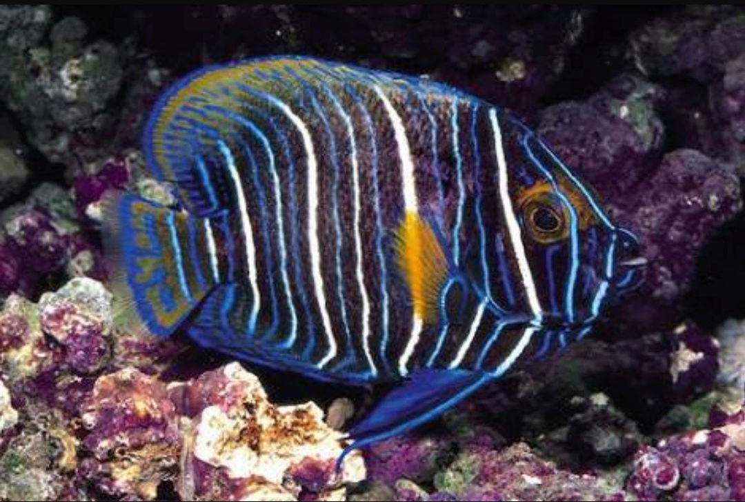 """Fact about Angel Napoleon a.k.a Blue Face Angelfish a.k.a Pomacanthus Xanthometopon, Indonesia's """"Star"""" Angelfishes 20180614"""