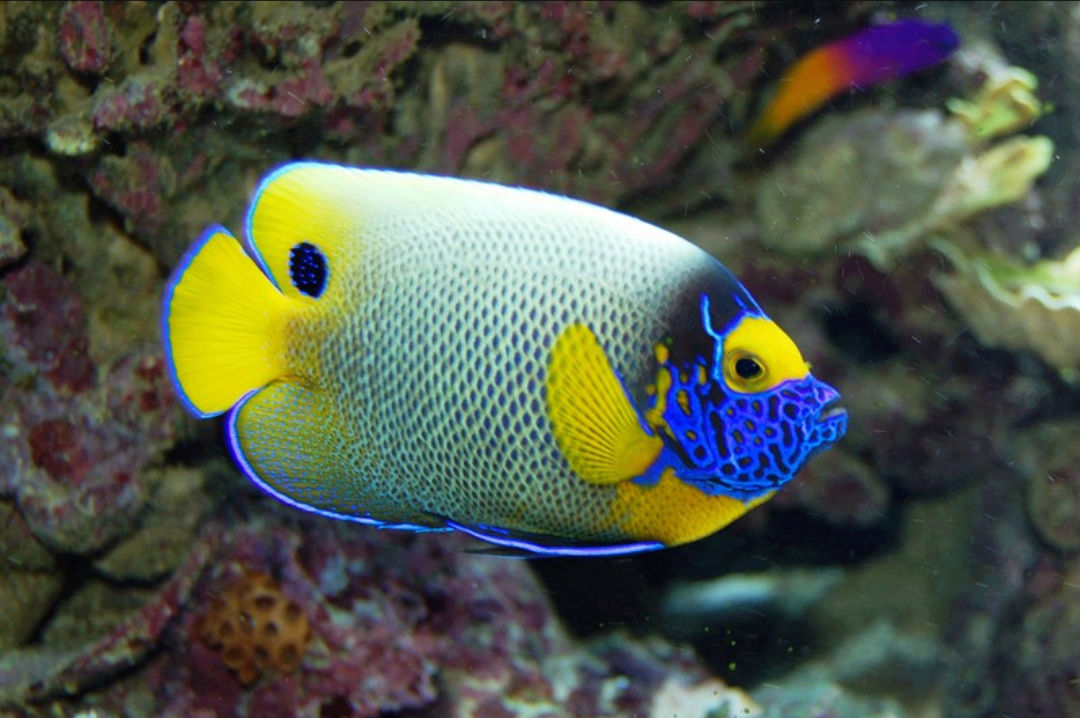 """Fact about Angel Napoleon a.k.a Blue Face Angelfish a.k.a Pomacanthus Xanthometopon, Indonesia's """"Star"""" Angelfishes 20180615"""