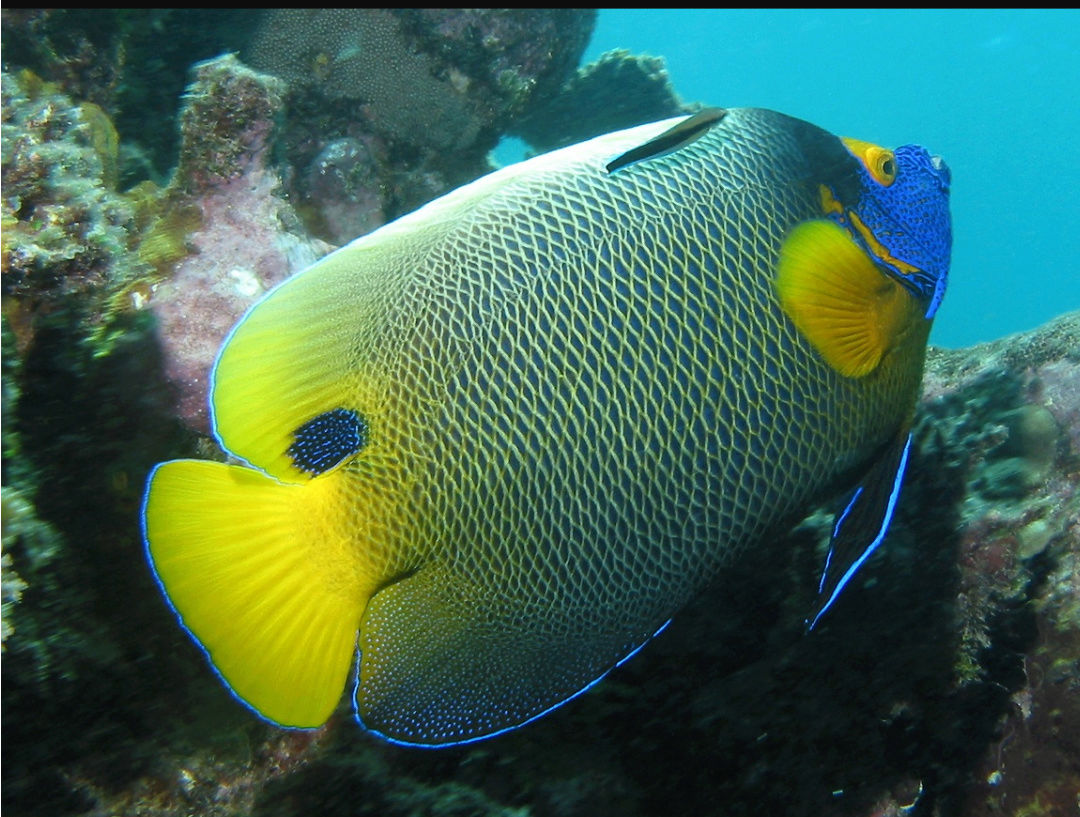 """Fact about Angel Napoleon a.k.a Blue Face Angelfish a.k.a Pomacanthus Xanthometopon, Indonesia's """"Star"""" Angelfishes 20180616"""