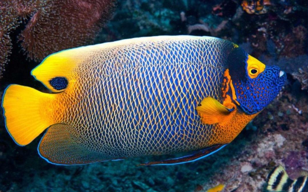 """Fact about Angel Napoleon a.k.a Blue Face Angelfish a.k.a Pomacanthus Xanthometopon, Indonesia's """"Star"""" Angelfishes 20180617"""