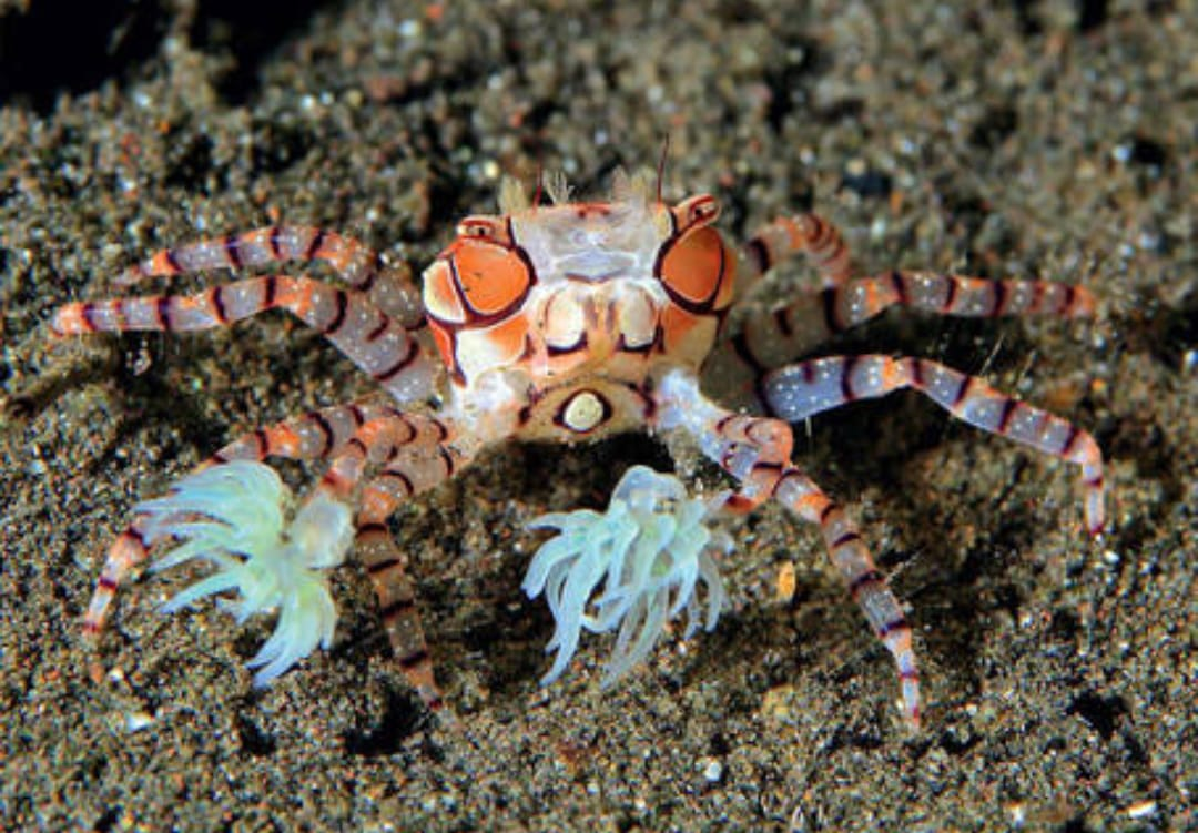 Pom Pom Crab Available on Limited Stock!! Img-2139