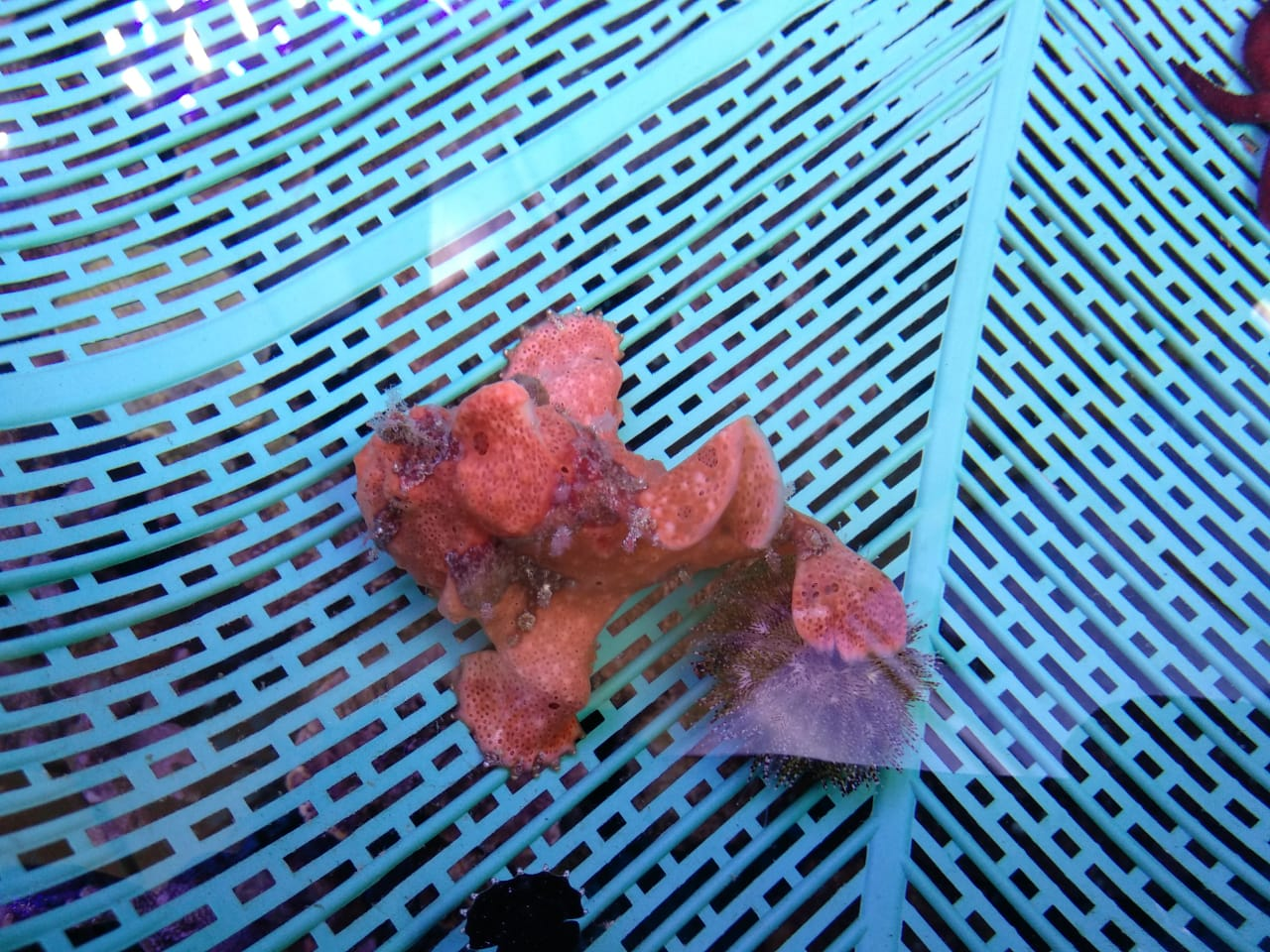 5 Collection Frogfish Available Img-2150