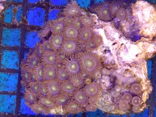 Zoanthids Colony on Stock Img_2036