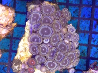 Zoanthids Colony on Stock Img_2038
