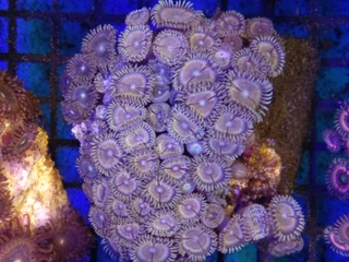 Zoanthids Colony on Stock Img_2039