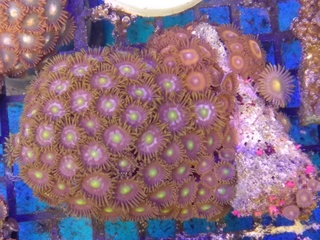 Zoanthids Colony on Stock Img_2040