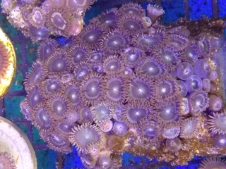 Zoanthids Colony on Stock Img_2041