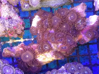 Zoanthids Colony on Stock Img_2043