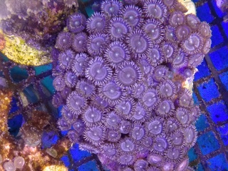 Zoanthids Colony on Stock Img_2045