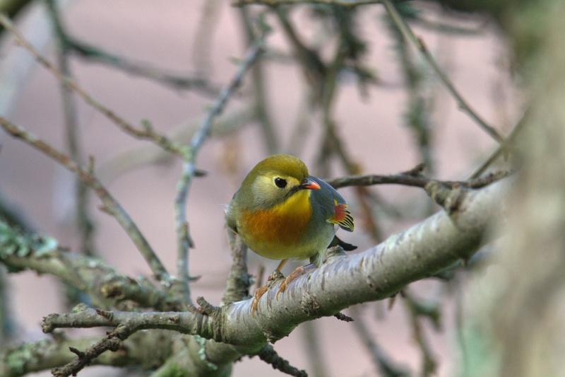 Rossignol du Japon ou Léiothrix jaune 002_111