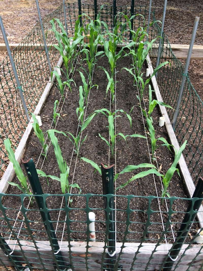 2018/2019 SFG in Brooks, GA - Page 3 Corn_013