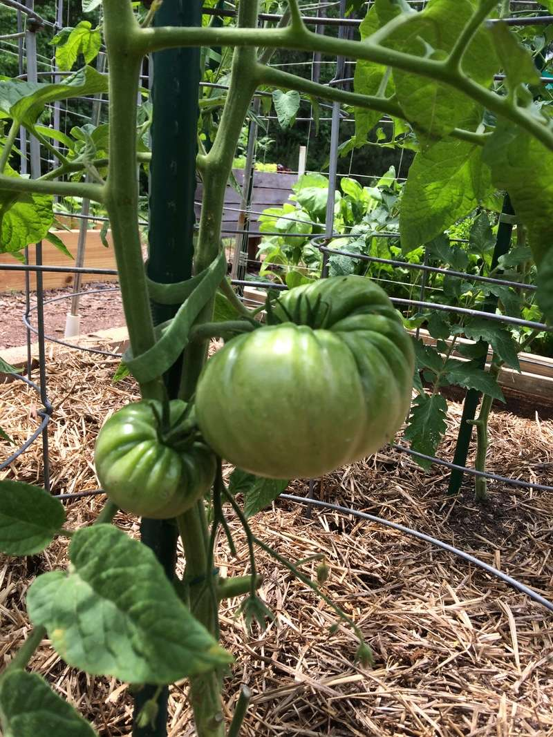 2018/2019 SFG in Brooks, GA - Page 3 Tomato26