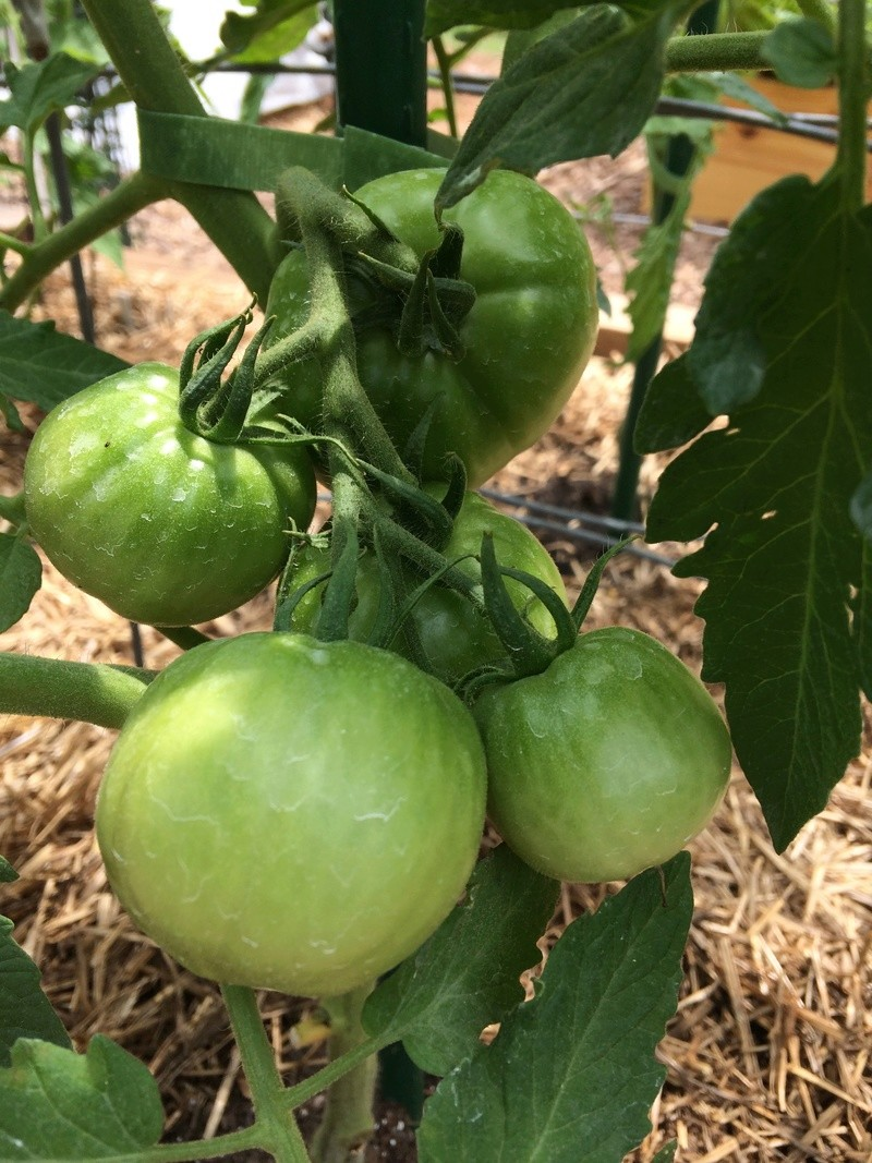 2018/2019 SFG in Brooks, GA - Page 3 Tomato27