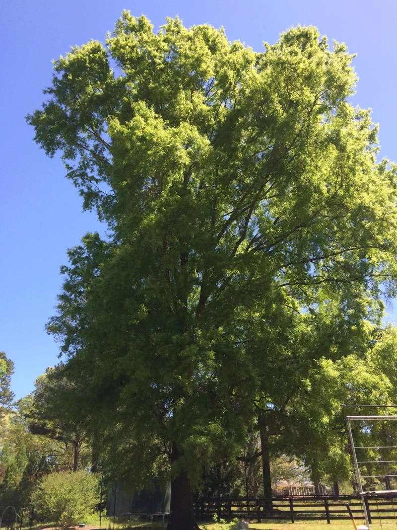 2018/2019 SFG in Brooks, GA - Page 2 Tree_010