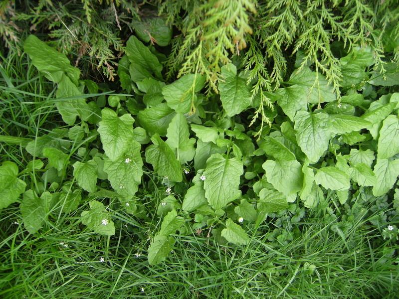 Plantes comestibles? Dscf3212
