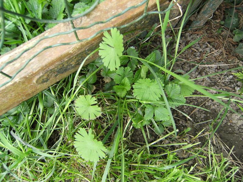 Plantes comestibles? Dscf3213