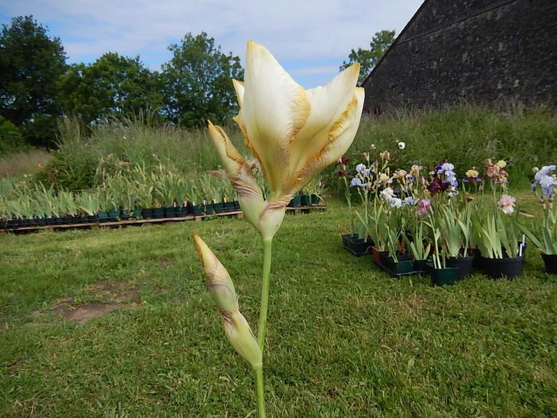Iris 'Amaryllis' - Ruth Goebel 1989 Amaryl13