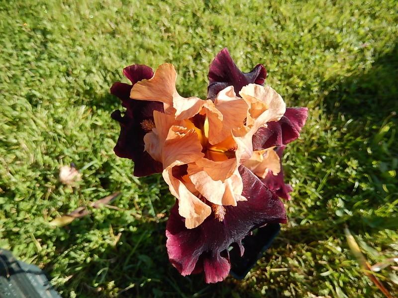 Iris 'Rustic Royalty' - Schreiner 2000 Rustic16