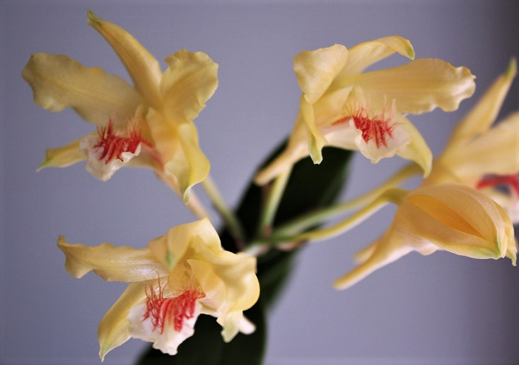Dendrobium lowii D-lowi11
