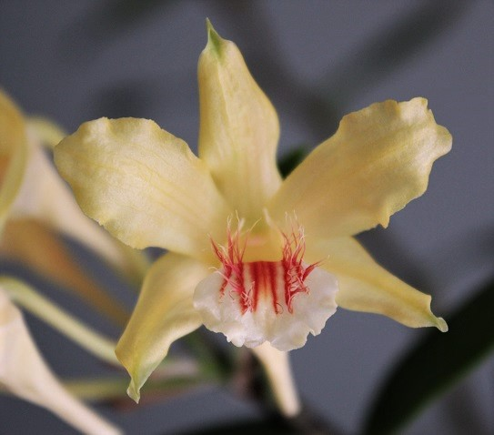 Dendrobium lowii D-lowi12