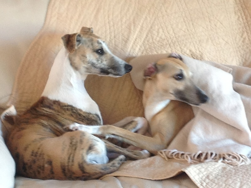 Mes deux whippets , Izzy et Nabucco  - Page 8 Image604