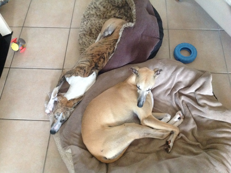 Mes deux whippets , Izzy et Nabucco  - Page 9 Image640