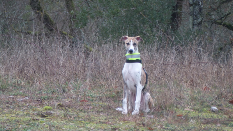 Mes deux whippets , Izzy et Nabucco  - Page 2 Izzy_e20