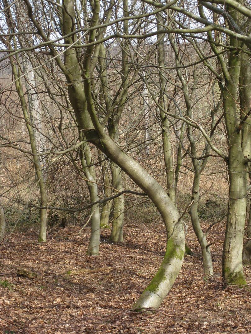 Sortie dans l'Oise forêt de Retz 7-arbr10