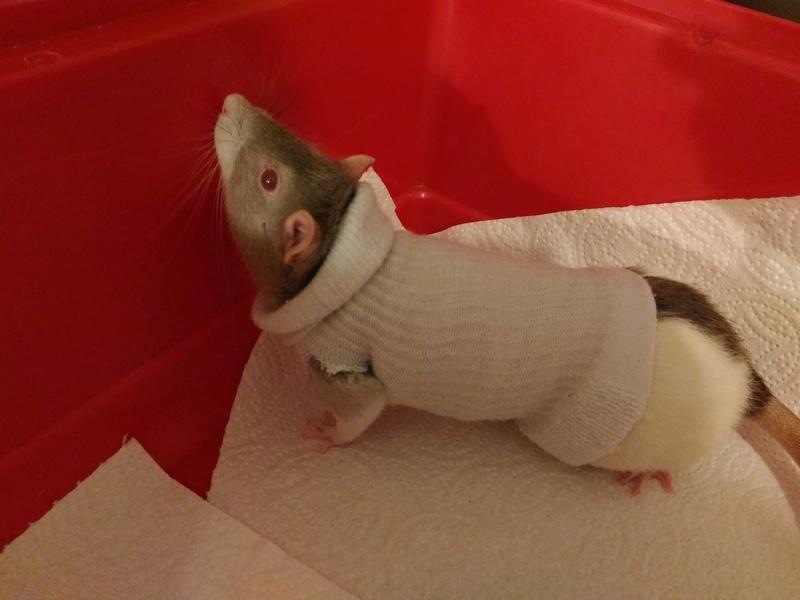 Le rat saucisson - Protéger une plaie après opération - Page 10 Rat_ch10