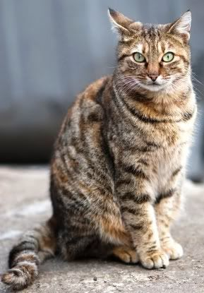 bushkit - Bushkit of ThunderClan Cat_pi10