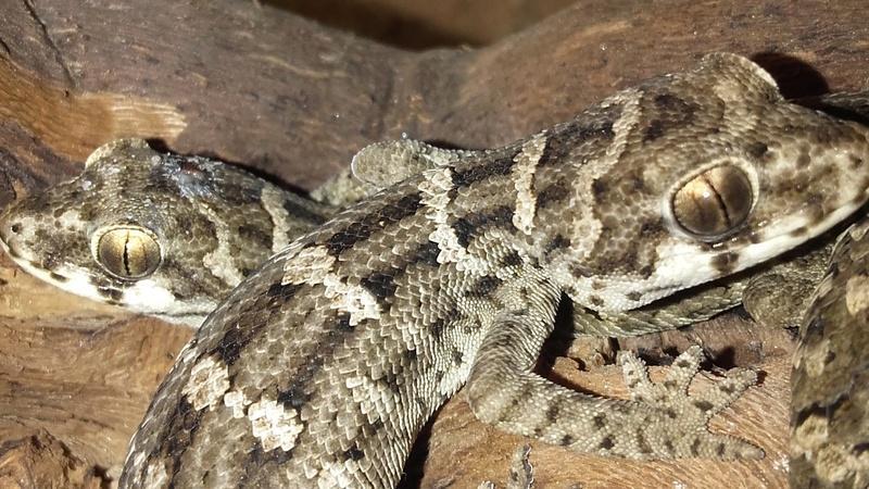 Question Hemidactylus Imbricatus 20180129