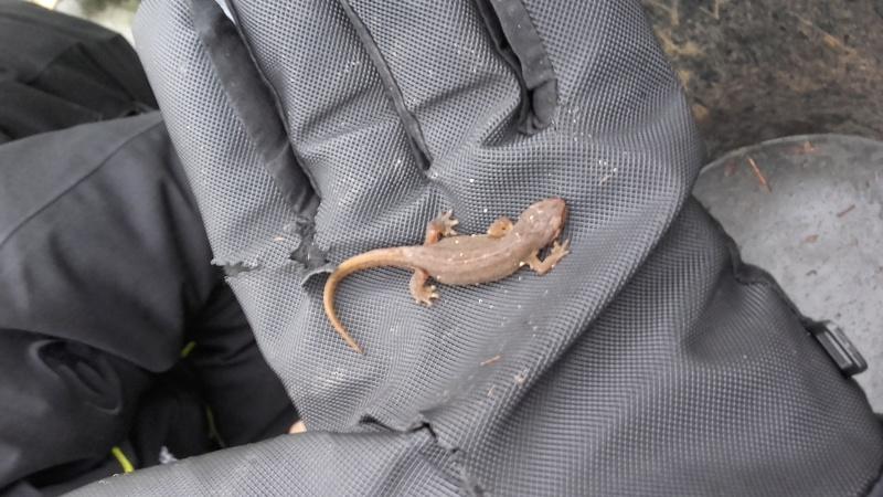 """Mission Ma participation à """"Amphibiens : Participez au suivi scientifique du passage à petite faune """" à Cré-sur-Loir (72) 20180214"""