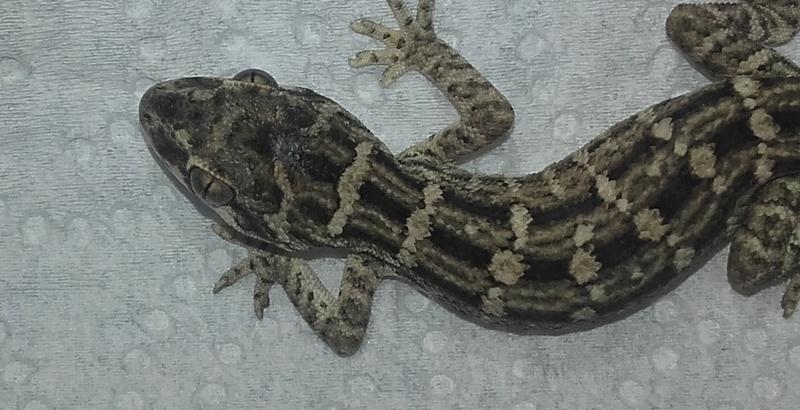 Question Hemidactylus Imbricatus 24_01_10