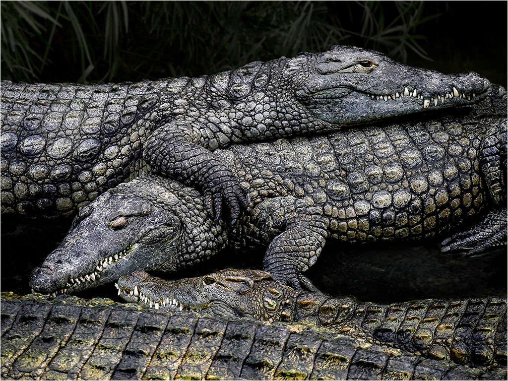 """"""" l'alligator..."""" _1100814"""