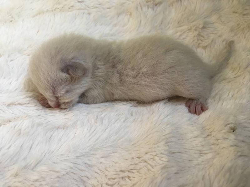 nieve - NIEVE, femelle siamoise, née le 29/07/2017 Img_8810